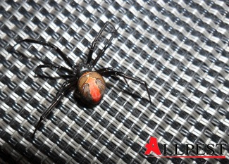 Picture of a red back