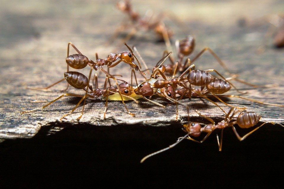 Common ants found in Perth